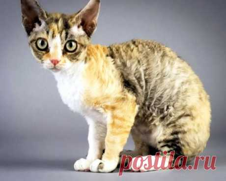 Немецкий рекс (прусский рекс) - добрые, общительные, и терпеливые кошки, и у них потрясающая, очень приятная на ощупь шерсть.
