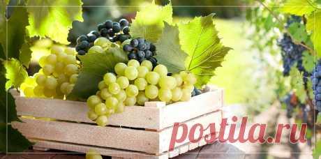 Польза винограда для организма человека заключается в его составе. В него входят витамины, аминокислоты и полезные микроэлементы. Но есть и противопоказания.