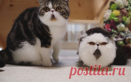 Бокко и Зуу: коты, которые похожи на утро понедельника — 4 Лапки