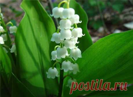 Medicinal properties of a lily of the valley May \u000d\u000aLily of the valley May – a perennial plant from family lileyny, included in the Red List. The plant in May or the beginning of June blossoms. A lily of the valley – the valuable cardiac long since used for treatment se …
