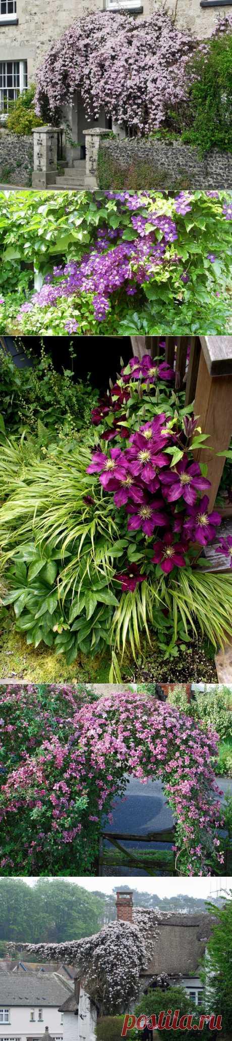 Клематис: цветочный водопад, чарующий взор