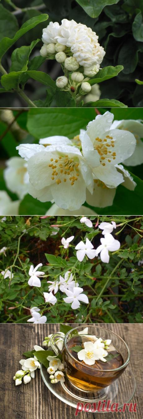 Растение жасмин (39 фото): белый, розовый, желтый цвет, лекарственный, как цветет, выглядит крупноцветковый, виды, видео