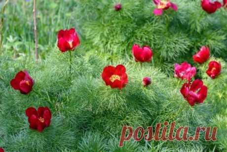 9 лучших видовых пионов для садов в природном стиле. Описание, фото — Ботаничка.ru