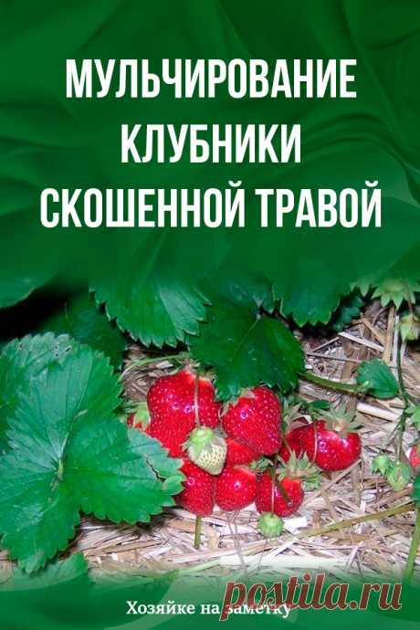 Mulchirovany strawberries mowed grass