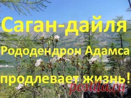 Саган-Дайля (Рододендрон Адамаса) продлевает жизнь