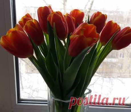 Выгонка тюльпанов - сроки посадки и технология выращивания