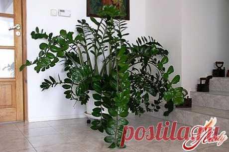 Замиокулькас: пересадка растения
