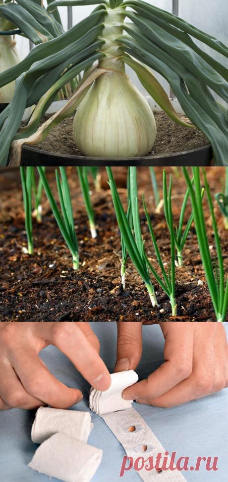 Лук Эксибишен - выращивание из семян: когда сажать и каким способом, секреты выращивания