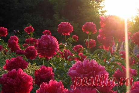 Как правильно ухаживать за пионами: от посадки до размножения В средние века пионы превозносили над розами, а их неприхотливость давно снискала им популярность у садоводов. Грамотный уход позволит пионам цвести и пахнуть ещё дольше и сильнее. В этом вам поможет наша статья