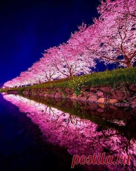 Сакура в цвету ...