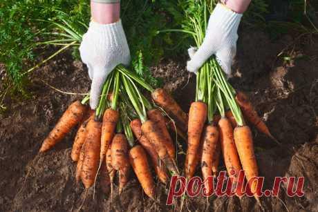 Как сеять морковь, чтобы обойтись без дальнейшего прореживания