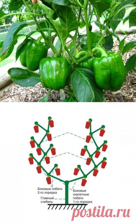 Как правильно формировать сладкий перец?