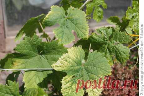 Почему на листьях винограда желтые пятна? - ответы экспертов 7dach.ru