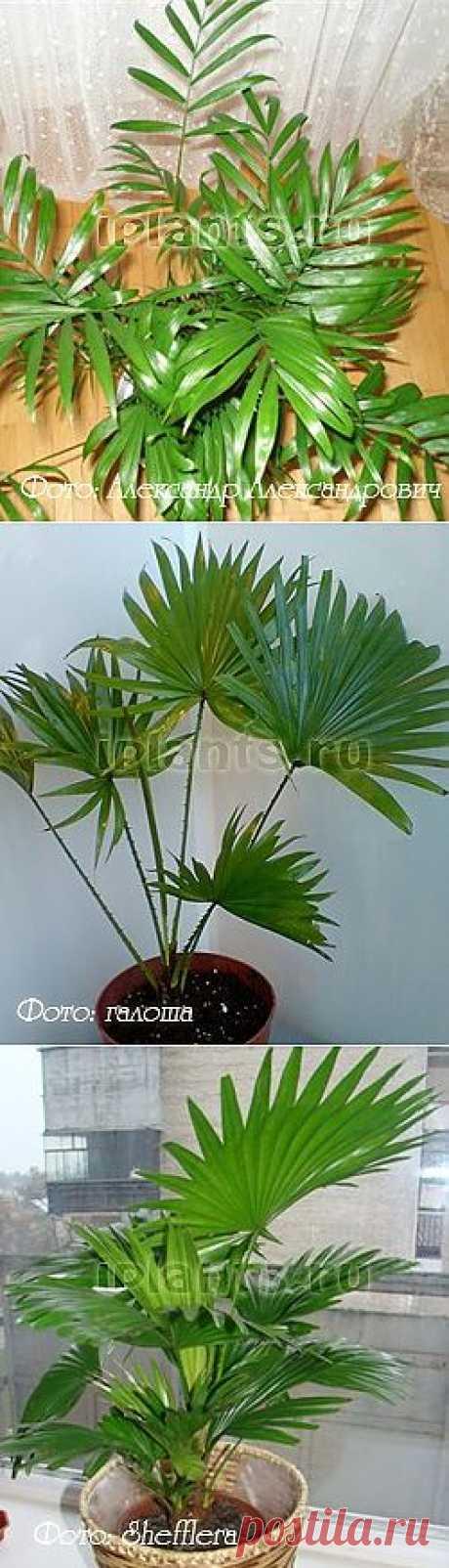 Пальмы - Комнатные растения и цветы