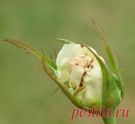 Как бороться с мелкими вредителями растений — трипсами — 6 соток