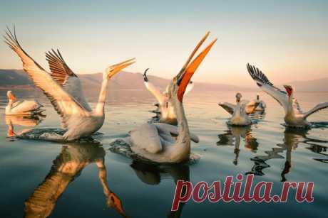 Вечеринка кудрявых пеликанов на озере Керкини в Греции. Автор фото – Evgeni Fabisuk: