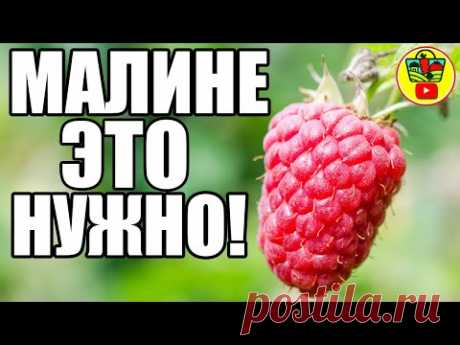 Малину в августе и в сентябре кормлю этим! На следующий год крупная ягода!