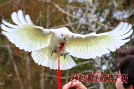 Поводок или шлейка для попугая (волнистого, корелла, жако): как сделать своими руками и зачем она нужна