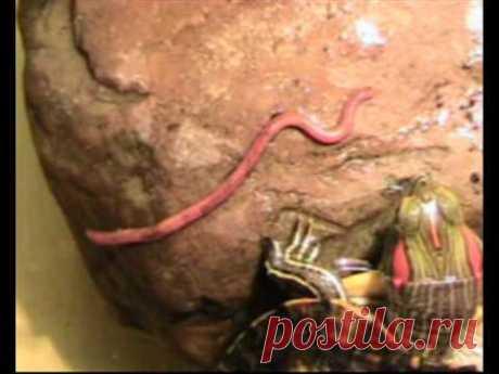красноухая черепаха охотится на червя навозного
