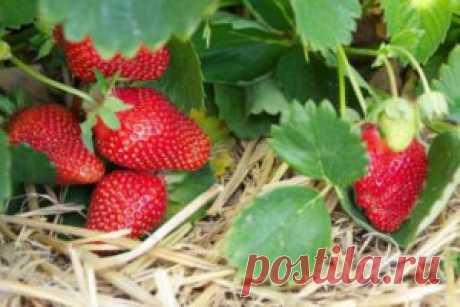 Обработка клубники после плодоношения | Сад 365