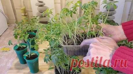 7 ошибок которые нельзя допустить при выращивании рассады томатов!