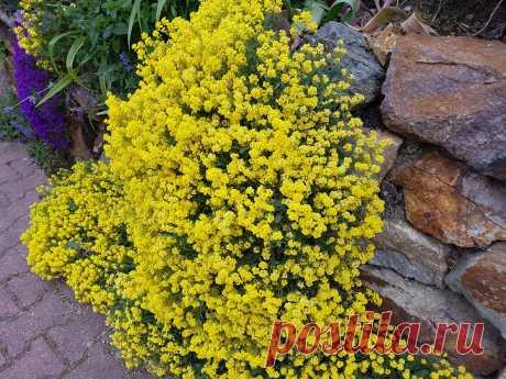 Почвопокровные многолетники: цветение весной Среди растений, которые сегодня востребованы на маленьких и больших дачах, особую группу составляютпочвопокровныевиды, их сорта, формы. В нее входят как листопадные, так и вечнозеленые низкорослые кустарники и кустарнички (пахизандра,кизильники), лазающие растения (бересклет Форчуна), травянистые многолетники (герань,дюшенея), декоративные травы... Читай дальше на сайте. Жми подробнее ➡