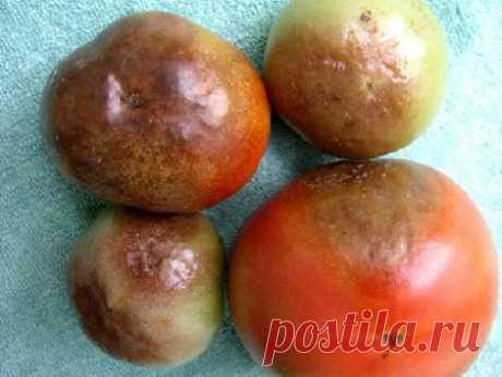 Фитофтора: как избавить томаты от злостного недуга | Самоцветик