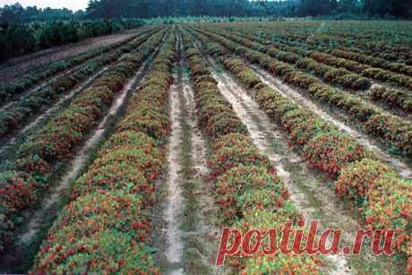 Брусника: выращивание, уход и борьба с вредителями