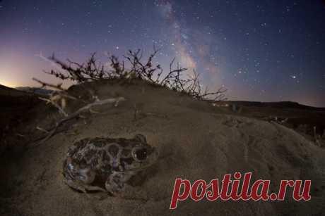 Очаровательная сирийская чесночница желает вам доброй ночи вместе с нами. Эта норная ночная лягушка, выкапывающая себе укрытие мощными задними конечностями, обитает в полупустынных районах и дюнах. Снимок сделал в Дагестане Егор Никифоров: nat-geo.ru/community/user/35887/