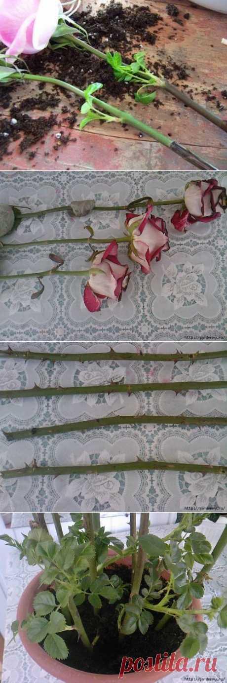 """""""Тройчатка"""" для проращивания роз."""