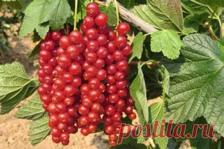 При выращивании красной смородины садоводы часто сталкиваются с ситуацией, когда ни с того, ни с сего завязи на кусте начинают осыпаться. Вроде и уход хороший, и обрезка правильная, а завязь осыпал…