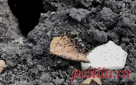Как избавиться от муравьев в огороде Муравьи встречаются повсеместно, обитают во всех садах и огородах, доставляя много неудобств. Они едят ягоды, разводят тлю на плодово-ягодных деревьях и кустарниках, что в конечном итоге приводят к их гибели. Муравьиные колонии портят грядки и клумбы. Как же избавиться от муравьев в огороде.