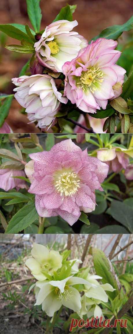 Морозник - снежная роза или роза Христа
