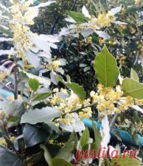 Издавна считается, что лавровый венок и лавровая ветвь – символы славы, победы, величия. В Древней Греции и Риме лавр считался священным растением. Цветоводами лавр ценится за элегантность и неприхотливость, за насыщение воздуха в комнате фитонцидами. Лавр благородный – небольшое вечнозеленое дерево или куст с кожистыми, тёмно-зелёными и блестящими сверху, продолговатыми, слегка волнистыми по краю листьями.Цветёт лавр весной. Цветки мелкие белые или кремовые, расположены в пазухах листьев. Плод