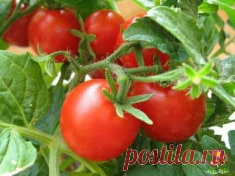 Подкормка помидоров в июле