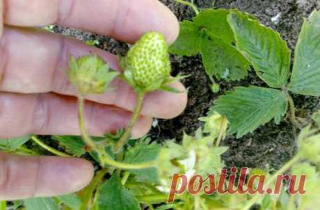 Чем подкормить клубнику после цветения — чтобы ягоды быстро наливались и все до последней были крупными | Маленький сад на краю Вселенной | Яндекс Дзен
