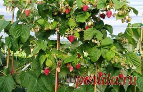 Малиновое дерево: посадка, уход и размножение (фото инструкция)