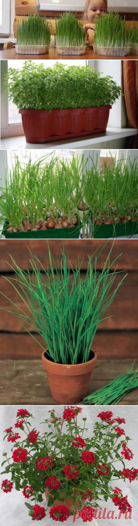 Выращивание зелени на подоконнике зимой: уход, полив
