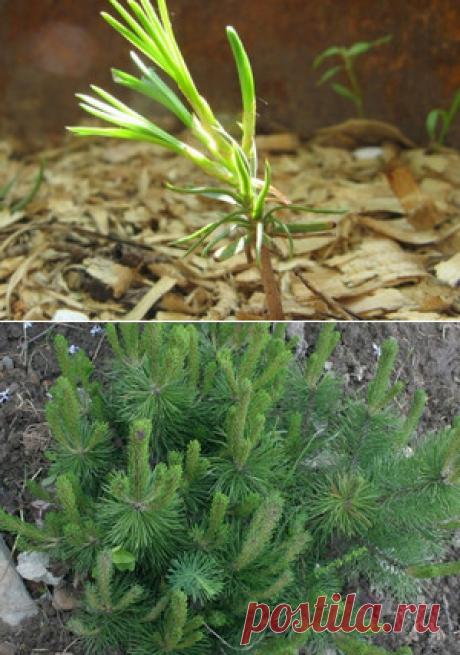 Посадите кедр — 6 соток