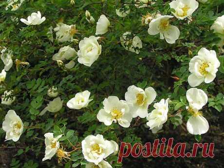 Бедренцоволистная роза в диком виде растет в южных районах европейской части СССР, на Кавказе, в Западной Сибири, Средней Азии, а также в Средиземноморье, Скандинавии и в Средней Европе. Кусты невысокие, но в условиях Урала встречаются до 2 м и больше. Побеги темно-коричневые, покрыты шиловидными шипами. Цветки бледно-розовато-белые, немахровые и полумахровые, душистые, в диаметре 4 — 6 см.