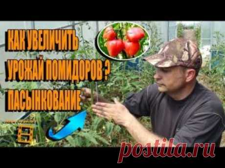 PASYNKOVANIYE OF TOMATOES. HOW TO INCREASE THE HARVEST OF TOMATOES? GARDEN (KITCHEN GARDEN) AND GREENHOUSE
