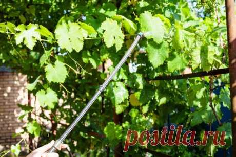 Правила летнего полива винограда   Идеальный огород   Яндекс Дзен