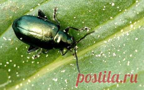De que escarabajos en la huerta es obligatoriamente necesario librarse: top 7 de los saboteadores