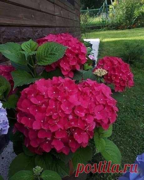 Гортензия –чудесное растение с роскошными цветами. Оно любит «покушать».