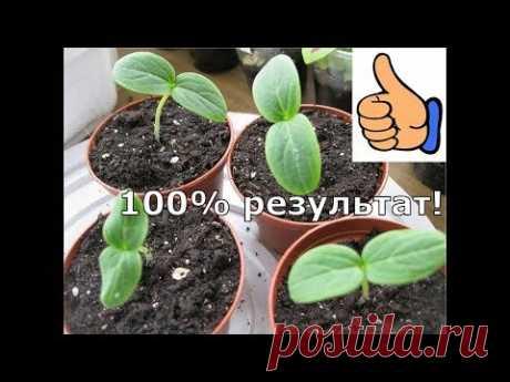 Как вырастить рассаду огурцов за 3 дня.Как посеять огурцы.100% результат при t не ниже +25./1часть/