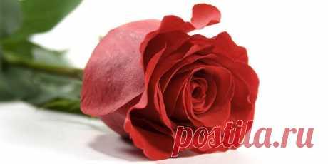 Роза – описание, виды и сорта, фото, посадка, уход, болезни Роза – общее название цветов из рода шиповник. Существует большое количество видов и сортов роз разнообразных расцветок и имеющих разнообразные ароматы.