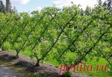 Потрясающий сад: площадь меньше, урожай — больше!   Деревья на шпалерах: преимущества метода, советы по выращиванию и уходу  Если участок небольшой и устроить на нем сад из плодовых деревьев невозможно, то можно прибегнуть к методу выращивания деревь…