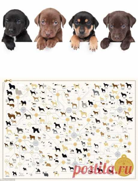 Как разные породы собак связаны между собой? Инфографика.