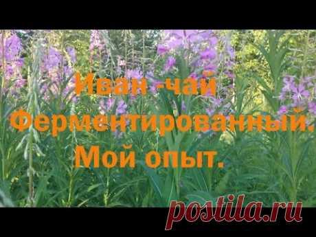 Ферментированный Иван -  чай .Мой опыт. - YouTube