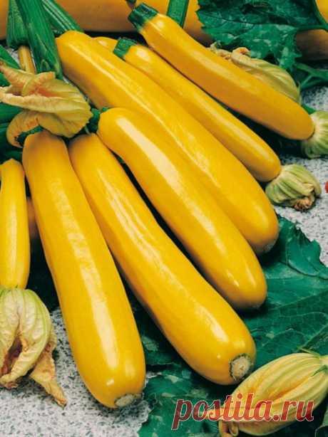 "Купить семена кабачка ""Голдкрэш"" от дистрибьютора Seminis | 100 штук | Цена на семена кабачка ""Goldcrash"""